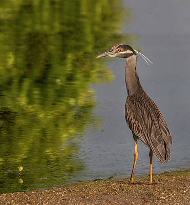 Art Print featuring the photograph Attentive Heron by Jean Noren