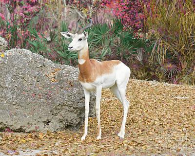 Addra Gazelle Painting - Attentive by Judy Kay