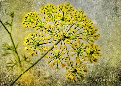 Photograph - Attractive Dill Blossom  by Rachel Hannah