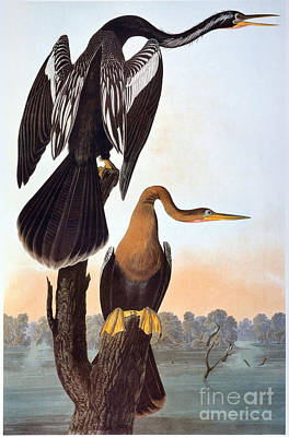 Photograph - Audubon: Anhinga by Granger