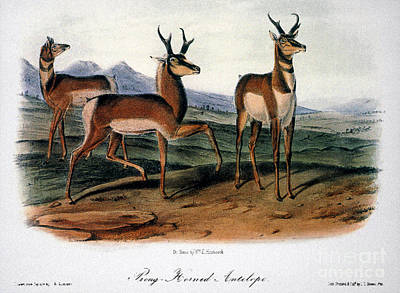 1846 Photograph - Audubon: Antelope, 1846 by Granger