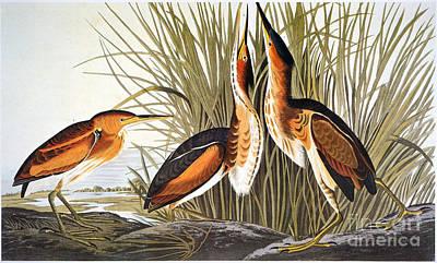 Photograph - Audubon: Bittern by Granger