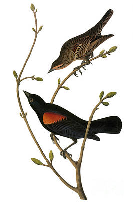 Photograph - Audubon: Blackbird by Granger