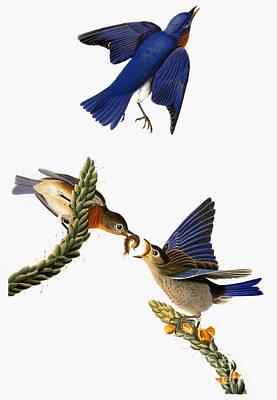 Photograph - Audubon: Bluebird by Granger