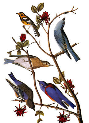 Photograph - Audubon: Bluebirds by Granger