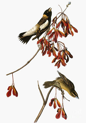 Photograph - Audubon: Bobolink by Granger