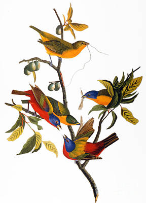 Painted Bunting Photograph - Audubon: Bunting, 1827 by Granger