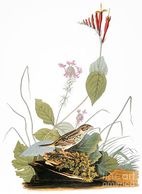 Photograph - Audubon: Bunting by Granger