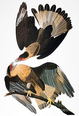 Photograph - Audubon: Caracara, 1827-38 by Granger
