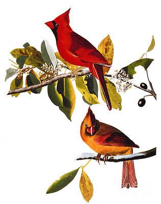 Photograph - Audubon: Cardinal by Granger
