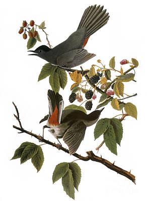 Photograph - Audubon: Catbird, (1827-38) by Granger