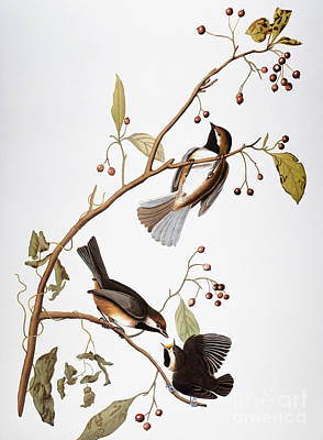 Photograph - Audubon: Chickadee, (1827-1838) by Granger