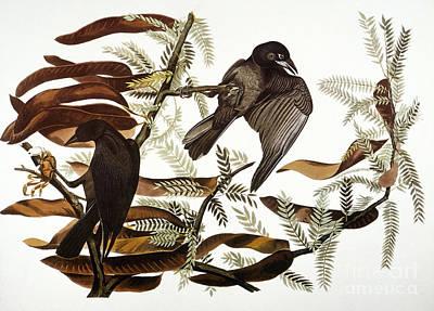 Audubon: Crow Art Print by Granger