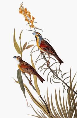 Photograph - Audubon: Dickcissel by Granger
