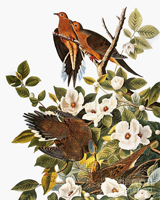 Photograph - Audubon Dove by John James Audubon