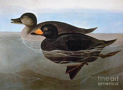 Photograph - Audubon: Duck, 1827 by Granger