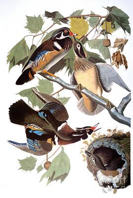 Photograph - Audubon: Duck by Granger