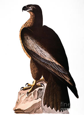 Photograph - Audubon: Eagle by Granger