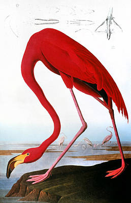Photograph - Audubon: Flamingo, 1827 by Granger