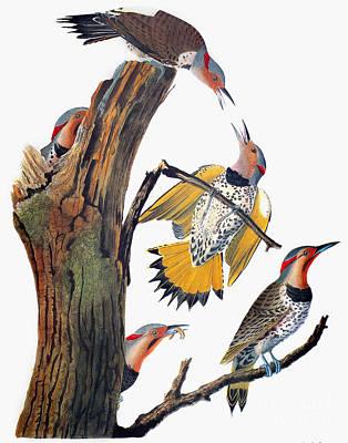 Photograph - Audubon: Flicker by Granger