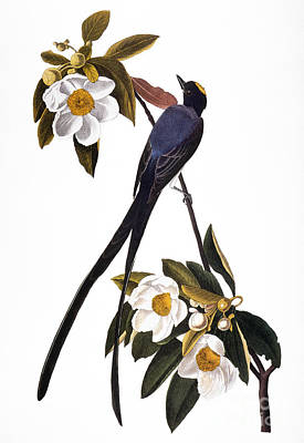 Photograph - Audubon Flycatcher, 1827 by John James Audubon