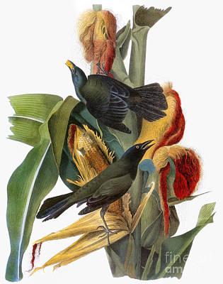 Photograph - Audubon: Grackle by Granger