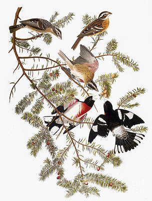Photograph - Audubon: Grosbeak by Granger