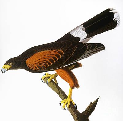 Photograph - Audubon: Hawk, 1827 by Granger