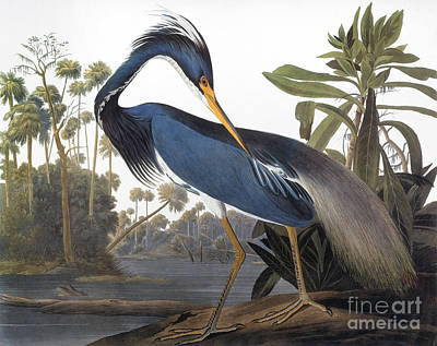 Photograph - Audubon Heron, 1827 by John James Audubon