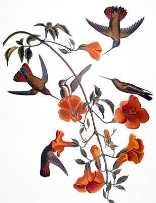 Photograph - Hummingbird by John James Audubon