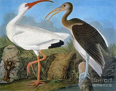 Photograph - Audubon: Ibis by Granger