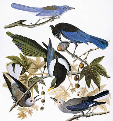 Photograph - Audubon: Jay And Magpie by Granger