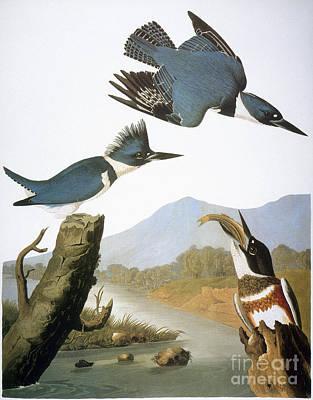 Belted Kingfisher Wall Art - Photograph - Audubon Kingfisher by Granger