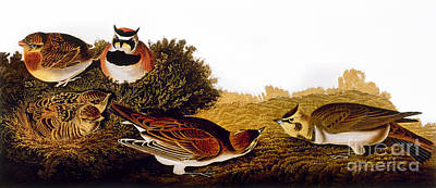Photograph - Audubon Lark by John James Audubon