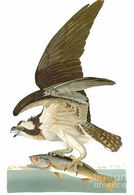 Osprey Photograph - Audubon: Osprey by Granger