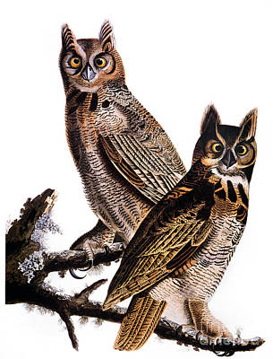 Photograph - Audubon: Owl, (1827-1838) by Granger