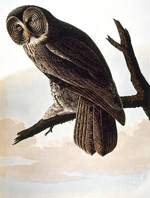 Photograph - Audubon Owl by John James Audubon