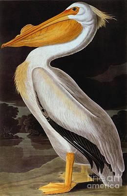 Photograph - Audubon: Pelican by Granger
