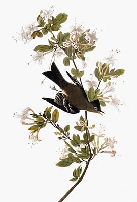 Photograph - Audubon: Pewee, 1827-38 by Granger