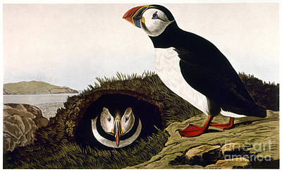 Photograph - Audubon: Puffin, (1827-38) by Granger