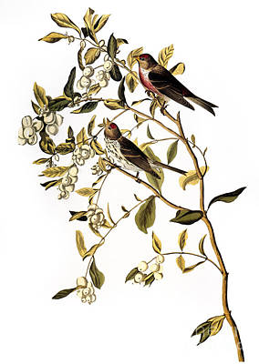Photograph - Audubon: Redpoll, (1827) by Granger