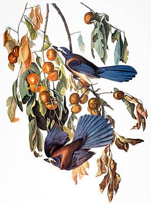 Photograph - Audubon: Scrub Jay, 1827-38 by Granger