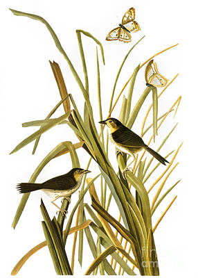 Audubon: Sparrow, (1827) Art Print by Granger