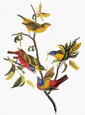 Photograph - Audubon: Sparrows by Granger