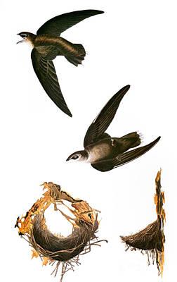 Photograph - Audubon: Swift by Granger