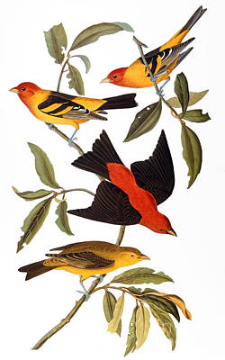 Western Tanager Photograph - Audubon: Tanager, 1827 by Granger
