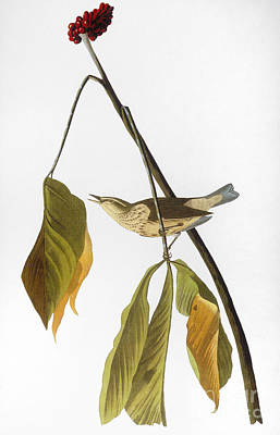 Photograph - Audubon: Thrush, 1827 by Granger