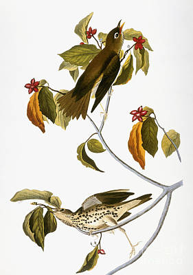 Audubon: Thrush Print by Granger