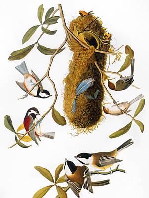 Photograph - Audubon: Titmouse by Granger