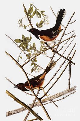 Photograph - Audubon: Towhee by Granger
